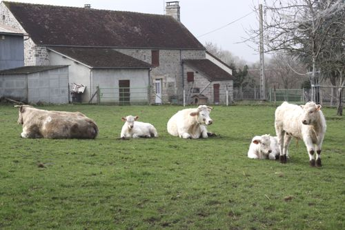 white cows in france