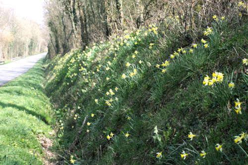 wild daffodils on hillside
