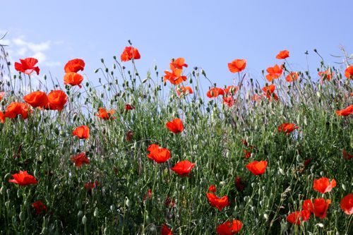 red wild poppies in France