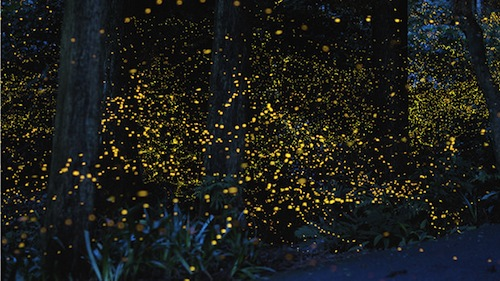 gold fireflies in Japan