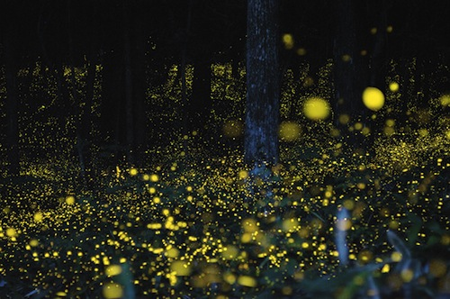 fireflies in Japan 1
