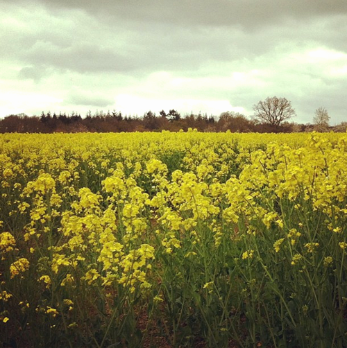 Mustard Field in Normandy