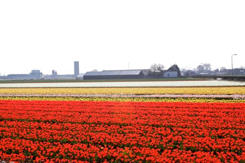 olive us tulip fields01