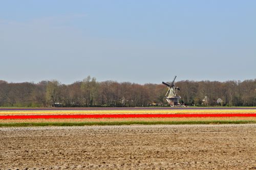 olive us tulip fields06
