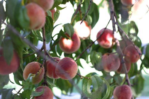 Peach tree design mom for Peach tree designs