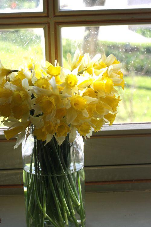 wild daffodils in vase