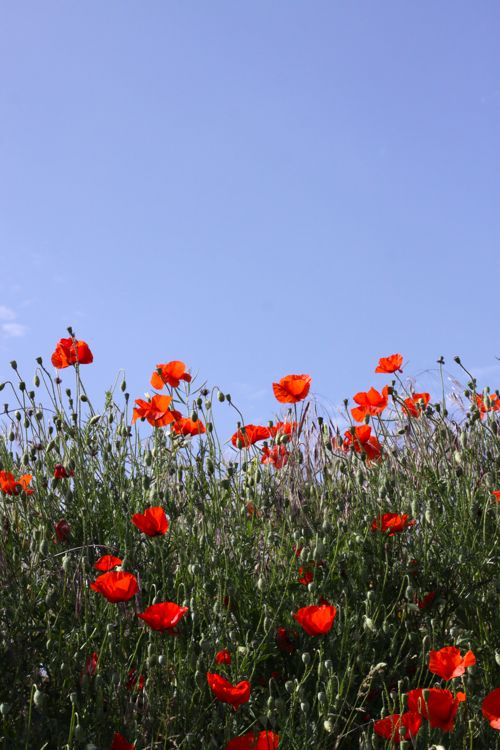 wild red poppies in France