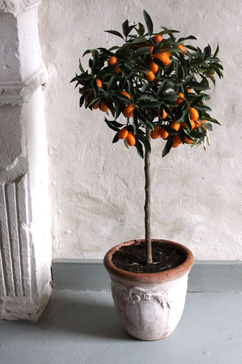 Kumquat Tree Design Mom