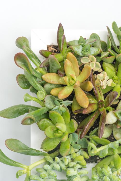 succulent-frame 18